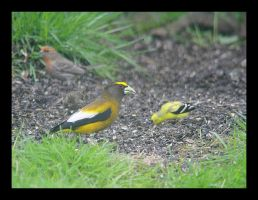 Evening Grosbeak and Friends by swashbuckler