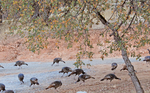 Wild Turkeys by ahhsummer