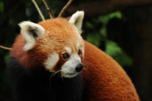 Red Panda by DPasschier
