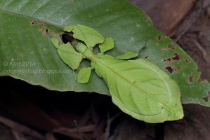 The Walking Leaf (IMG 3072 copy) by orionmystery