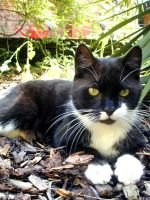 Tetley my cat by ghostiness