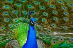 Another peacock... by White-Voodoo