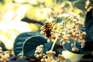 Bee by Martina31