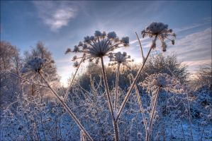 Snow Flowers by scotto