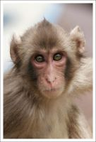 Macaque Portraits - I by eight-eight