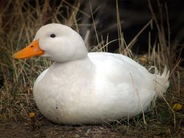 White duck by LucieG-Stock