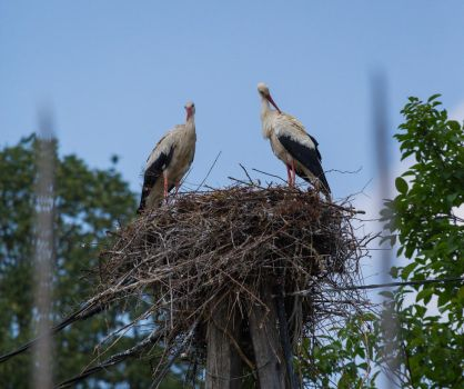 Storks looking after their nest by luka567