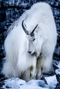 Mountain Goat by nigel3