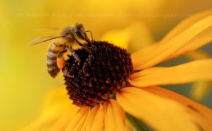 Honey Bee by StephiPhotography