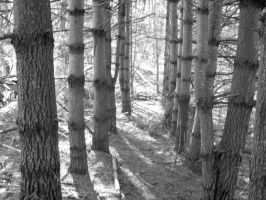 Row of Pines Black and White by superclayartist