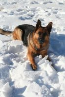 German Shepherd Stock 015 by EssenceOfPerception
