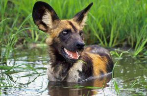 African wild dog in water by dracoturbo