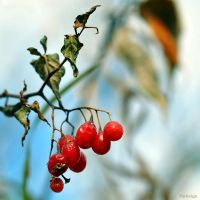 Fruits Rouge d'Automne I by hyneige