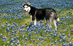 Husky in Blue Bonnets 3 of 3 by AquaVixie