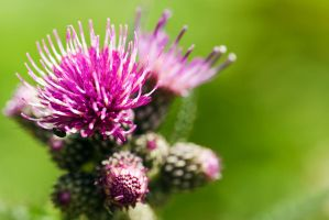 Thistle and beetle by duncan-blues