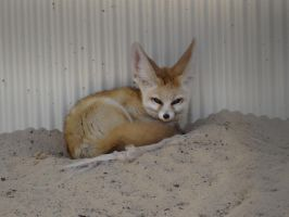 Fennec Fox 01 by lizardman22