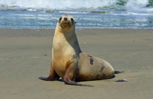 Sea Lion pose 2 by PaulWeber