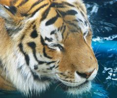 Amur Tiger Stock 4 by HOTNStock