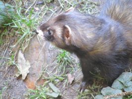 GERMAN POLECAT by CHRISwillar