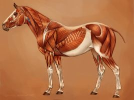 Horse Muscles Reference by JenPenJen