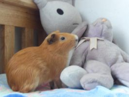 Coco the Guinea Pig 4 by Gexon