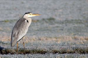 Winter Heron by xLeane