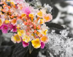 Icing on the Lantana by HA91