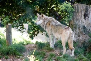 Dublin Zoo - Wolf Listening by IanStruckhoff