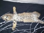 Bobcat Belly Aug 2010 by MrSwede