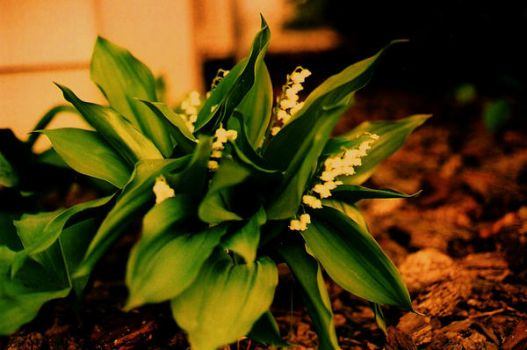 Antique Lily of the Valley by LateRose225
