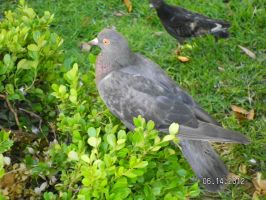 Pigeon of Greece II by strangmusicobsession