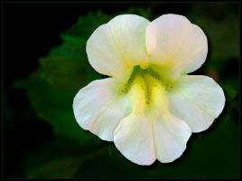 MONKEY FLOWER by THOM-B-FOTO