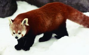 Red Panda III by Verenth