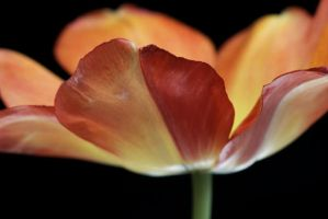 Tulip by julies517