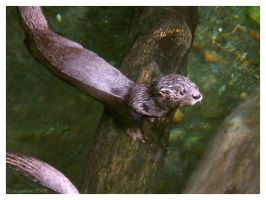 Otter by AokiBengal