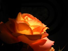 stock: fire rose 2 by distorted-mirages