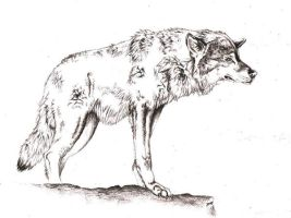 New Wolf Sketch by TriNeaX