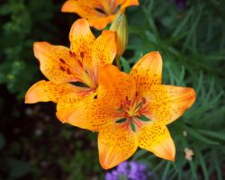 Lilium III by miss-gardener