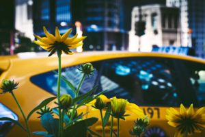 Yellow flowers yellow taxi by AlternativeSue