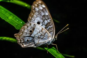 butterfly by ssabbath