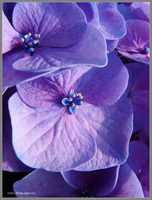 Hydrangea Flowers Up Close by Mogrianne