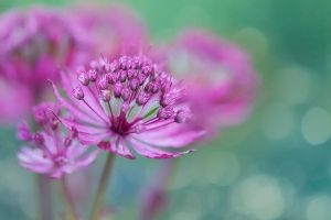 Astrantia major by SarahharaS1