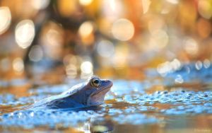 Blue frog 2 by shade-pl