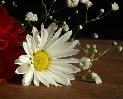 Daisy 2 by 4TheLoveOfNature
