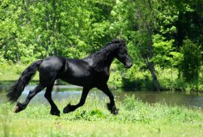 Friesian stallion Stock Trot by LarissaAllen