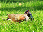 Southern lapwing by DVHeld