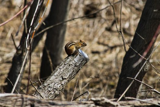Chipmunk by JessiesWildlife