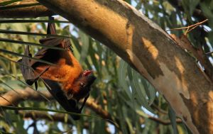 Fruit Bat Goa India by RixResources