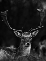 Fallow Deer - Mar 12 by mszafran