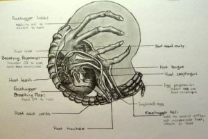 Facehugger Diagram by predatoress27
